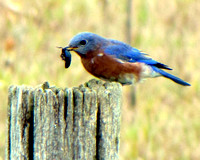New York State Bluebird IMG_5963
