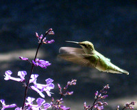 Female Ruby-throated Hummingbird & Plectranthus IMG_3283