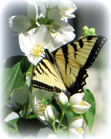 Tiger Swallowtail & Mock Orange Blossoms